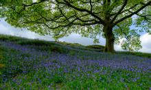 Bluebells Under An Oak Tree