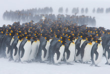 King Penguins Stand With Their...