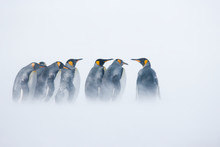 King Penguins Standing In Blow...