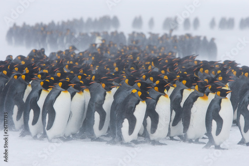 Fotografía King penguins stand with their backs to blowing snow on the snowy fields of the sub-antarctic island of South Georgia