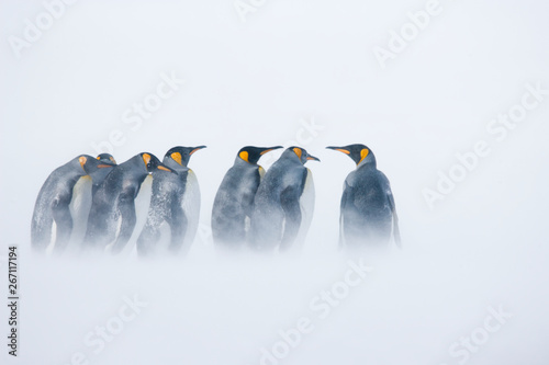 Tuinposter Pinguin King penguins standing in blowing snow on the Sub-Antarctic island of South Georgia