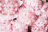 Beautiful bouquet of pink Peony flower background. Top view or flat lay.