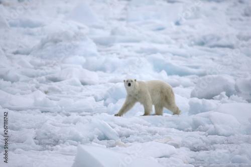 Wall Murals Polar bear Polar bear walking on sea ice in the Arctic