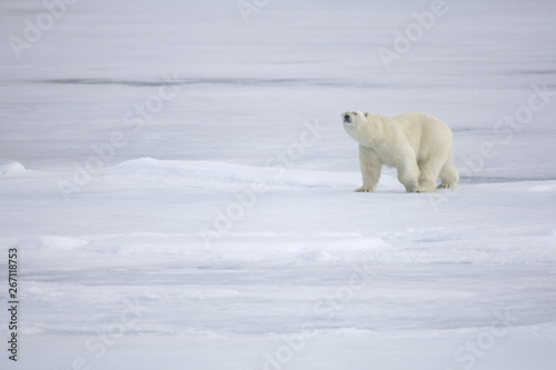 Tuinposter Ijsbeer Polar bear walking on sea ice in the Arctic