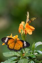 Schmetterling - Paare