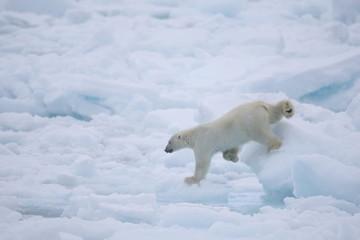 Polar bear waking on the ice in the Arctic