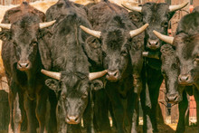 Cattle With Horns