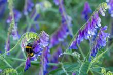 Garden Bumblebee- Bombus Horto...