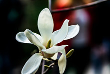 White Flower Of Magnolia On Black Background