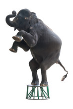 Elephant Stand Two Leg On The ...