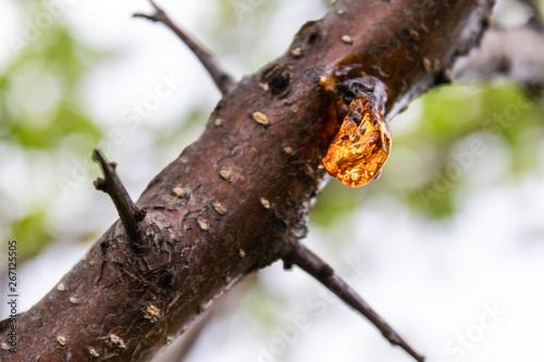 Obraz na plátně Solid sap of the tree on the trunk close-up.