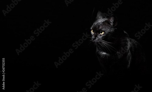 Keuken foto achterwand Kat Portrait of a black cat in studio on black wall background with copy space