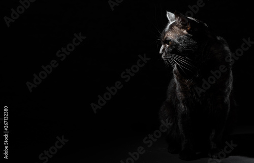 Canvas Prints Panther Portrait of a black cat in studio on black wall background with copy space
