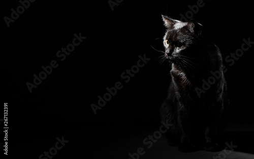 In de dag Kat Portrait of a black cat in studio on black wall background with copy space