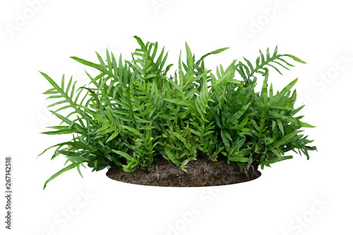 Green leaves Hawaiian Laua'e fern or Wart fern tropical foliage plant bush on ground with dead plants humus isolated on white background, clipping path included Fototapete