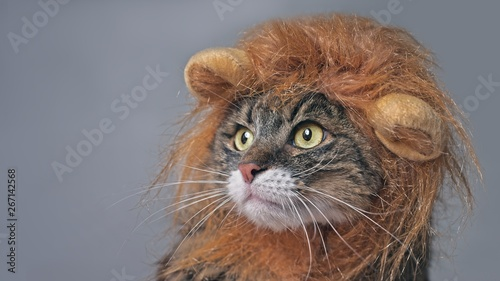 Leinwand Poster Funny maine coon cat in lion costume looking sideways