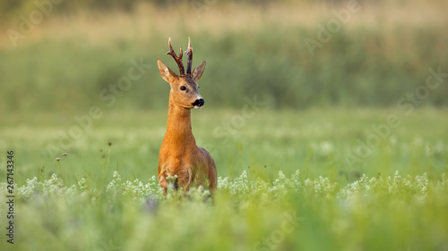 Foto op Plexiglas Ree Strong roe deer, capreolus capreolus, buck with dark antlers on a meadow with wildflowers early in the morning. Wild animal in nature with green blurred background and copy space.