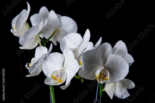 Biały Storczyk na czarnym tle - 267143387