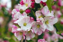 Apple Blossom Tree Background
