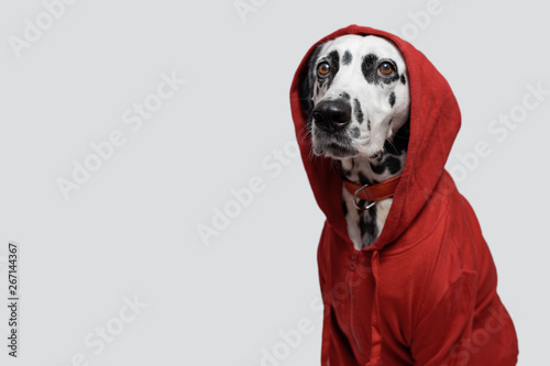 Foto  Dalmatian dog in red sweatshirt sits on white background