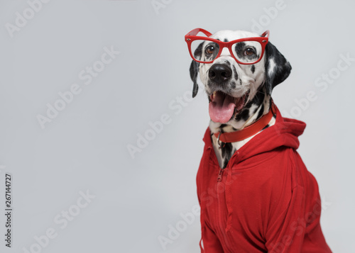 Portrait of Funny Dalmatian...