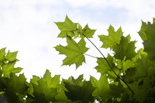 Bottom View Of The Beautiful Green Maple Leaves Against The Blue Sky. Crown Of Maple Tree With Just Appeared Leaves. Summer Concept