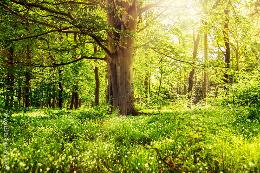 Fototapety, obrazy: Waldlichtung mit Buche am Alten Postweg