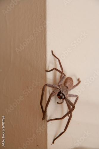 Huntsman Spider Wallpaper Mural