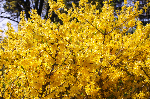 Photo Blooming forsythia spring yellow beautiful bright flowers