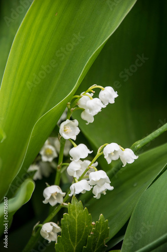 Poster Muguet de mai Beautiful white bells, whole flowers of lily of the valley, green large leaves of lily of the valley bushes.