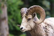 Bighorn Sheep - (Ovis Canadens...
