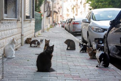 Fototapeta Strat cats in street. Outdoor pet animal. obraz