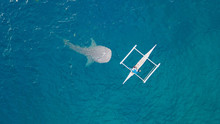 Top View Whale Shark Swimming Near Fishing Boat In Open Blue Sea. Aerial Photography From Drone Above Wild Whale Shark While Feeding In From Fishing Boat In Blue Sea.