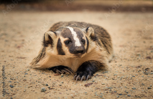 Valokuva American Badger laying in the dirt
