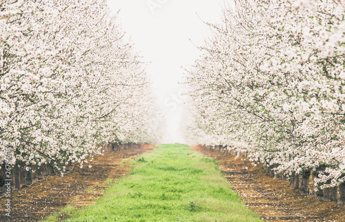 Symmetrical row of blooming almond trees in California, vanishing into a white h Wallpaper Mural