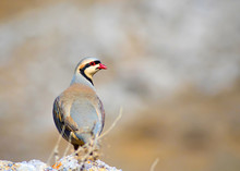 Partridge. Brown Nature Background. Chukar Partridge. Alectoris Chukar.