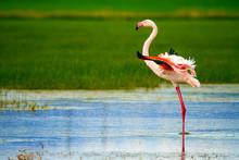 Flamingos. Nature Background. ...