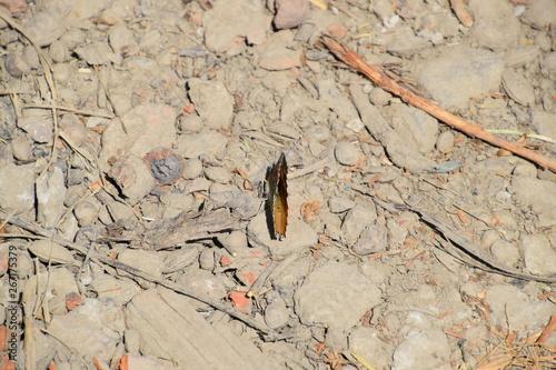 Valokuva  Vanessa cardui Butterfly on the soil ground.