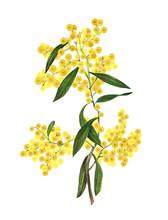 Golden Wattle (Acacia Pycnantha) Is Australia's National Flower