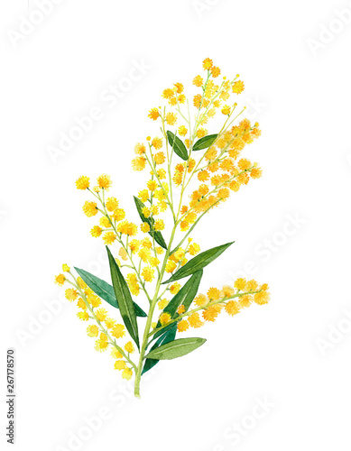 Photo Golden Wattle (Acacia pycnantha) is Australia's national flowe