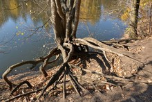 Exposed Tree Roots On The Shore Of A Forest Lake