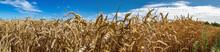 Ein Feld Mit Weizen Vor Blauem Himmel