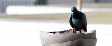 Thirsty Pigeon On Pot