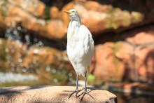 Cattle Egret (Bubulcus Ibis) P...
