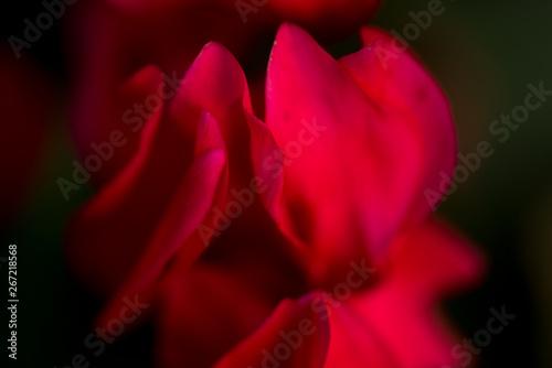 Photo 赤いシクラメンの花びら