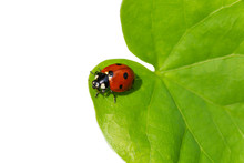 Ladybug Sitting On Green Leaf ...