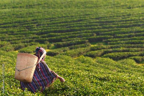 Fototapeta Asia worker farmer women were picking tea leaves for traditions in the sunrise morning at tea plantation nature