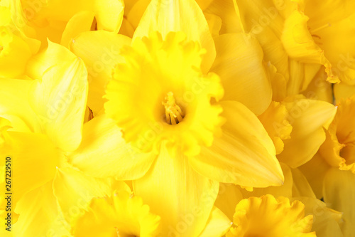 Foto op Canvas Narcis Beautiful daffodils as background, closeup. Fresh spring flowers