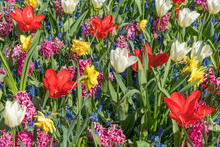 A Field Of Flowers Consisting Of White Tulip, Red Tulip, Muscari, Hyacinth, Narcissus On A Sunny Spring Day.