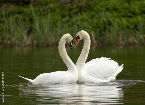 Fotografia Mute swan